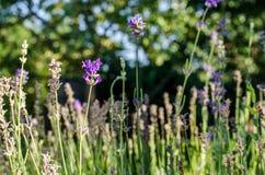 Lavendel op het gebied Stock Foto's