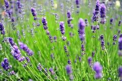 Lavendel op het gebied op winderige dag Royalty-vrije Stock Foto
