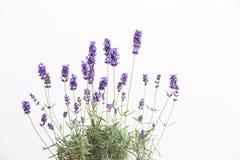 Lavendel på en vit vägg Royaltyfri Foto