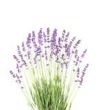 Lavendel på en vit vägg Royaltyfri Fotografi