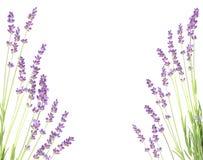 Lavendel på en vit vägg Royaltyfria Foton