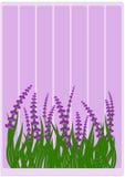 Lavendel på gräsgränsen Arkivfoton