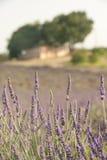 Lavendel pflanzt das Wachsen auf einem Gebiet mit einem kleinen Gebäude im Hintergrund Lizenzfreies Stockfoto