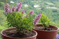 Lavendel postade växter i en trädgård Royaltyfri Foto