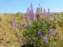 Lavendel Prarie royaltyfri bild