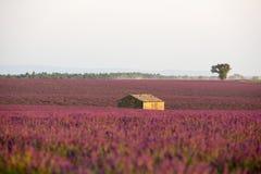 Lavendel in Provence stockbilder