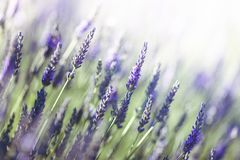 Lavendel in Provence, Frankreich Stockfotos
