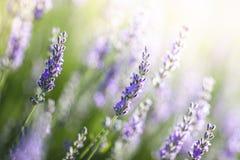 Lavendel in Provence, Frankreich Stockfoto