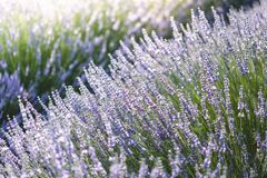 Lavendel in Provence, Frankreich Stockbild