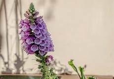 Lavendel Purpere Bloem voor een muur stock fotografie