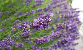 Lavendel-Purpur Stockbild