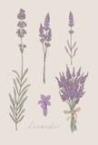 Lavendel räcker den utdragna uppsättningen vektor illustrationer