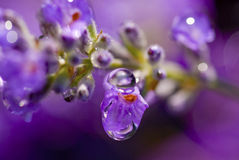 Lavendel-Regen Stockfotos