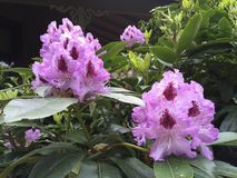 Lavendel Rhododenderon Royalty-vrije Stock Afbeelding