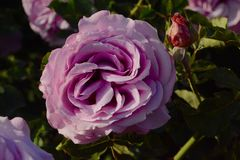 Lavendel Rose Stockbilder