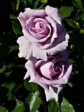 Lavendel Rose Duet arkivbilder
