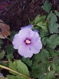 Lavendel Rose von Sharon Lizenzfreie Stockfotografie