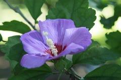 Lavendel Rose von Sharon blühend im Garten Lizenzfreie Stockbilder