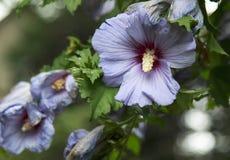 Lavendel Rose von Sharon Flower Stockfotos