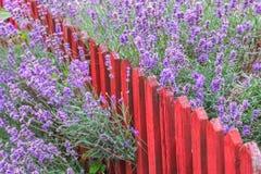 Lavendel runt om ett trästaket Arkivfoto