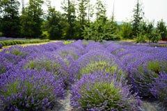 Lavendel in Sequim 7 Stockfoto