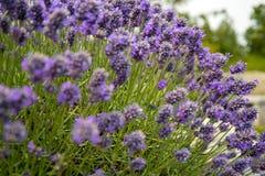 Lavendel in Sequim 9 Lizenzfreie Stockfotos