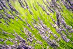 Lavendel in Sequim 11 Lizenzfreies Stockfoto