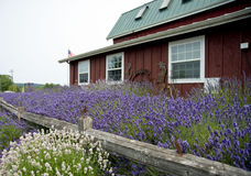 Lavendel in Sequim 12 Stock Afbeelding
