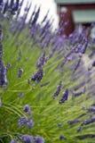 Lavendel in Sequim 14 Lizenzfreie Stockbilder