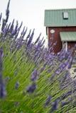 Lavendel in Sequim 15 Lizenzfreies Stockbild