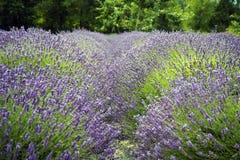 Lavendel in Sequim 17 Stockbilder