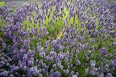 Lavendel in Sequim 18 Lizenzfreies Stockbild