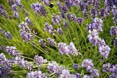 Lavendel in Sequim 19 Stockbilder