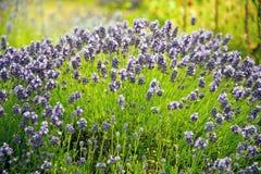 Lavendel in Sequim 20 Stockfotos
