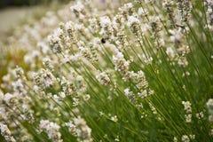 Lavendel in Sequim 21 Lizenzfreies Stockfoto