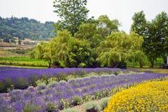 Lavendel in Sequim 23 Lizenzfreie Stockbilder