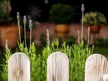 Lavendel som är fullvuxen med tunna sidor bak trästaketet fotografering för bildbyråer