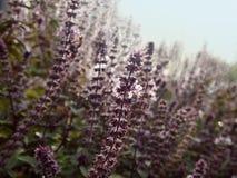 Lavendel som blommar i solljus Arkivfoto
