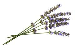 Lavendel som isoleras över white Royaltyfria Bilder