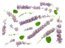 Lavendel som isoleras på en vit bakgrund Royaltyfri Foto