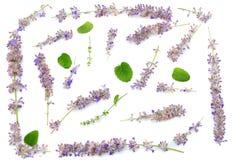 Lavendel som isoleras på en vit bakgrund close upp Royaltyfri Foto
