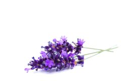 Lavendel som isoleras på vit bakgrund Arkivfoton