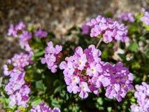 Lavendel som skuggar lantanaen royaltyfria foton