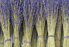 Lavendel som torkas i grupper Bakgrund med torkad violett lavendel arkivfoton
