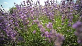 Lavendel stock video