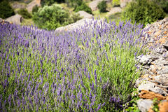 Lavendel som växer på den Hvar ön Royaltyfri Foto