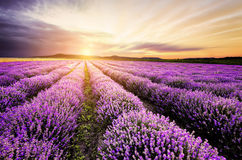 Lavendel-Sonnenaufgang stockbild