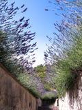 Lavendel-Stämme gegen den Himmel Stockbild