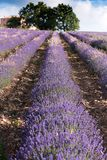 Lavendel stellt nahe Sault, Provence auf Stockfotografie