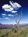 Lavendel stellt Provence Frankreich auf Stockfoto